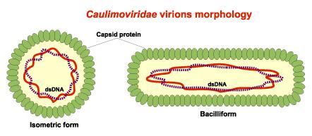 Caulimovirus.png
